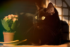 Black cat and flowers of Kalanchoe Royalty Free Stock Images