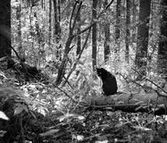 Black cat in the forest. Black and whight Royalty Free Stock Photo