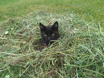 Black cat. Freshly cut grass is super Stock Images