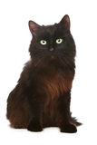 Black cat in front of a white background Royalty Free Stock Images