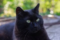 Black cat in the garden. In the sunset, on summer royalty free stock photography