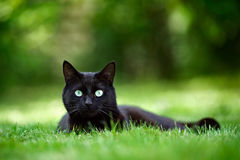 Black Cat in Garden. Black cat lying on grass in a garden, looking at the camera royalty free stock image