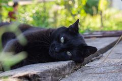 Black cat in the garden. In the sunset, on summer royalty free stock photo