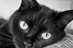 Black Cat Gazing - Black and White I Stock Photography