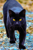 Black cat with glowing  eyes Stock Image