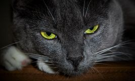 Black cat with glowing green eyes. Close-up of a predatory face royalty free stock photography