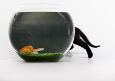 Black cat & Gold fish. Cat - the small furry animal with four legs and a tail; people often keep cats as pets Royalty Free Stock Image