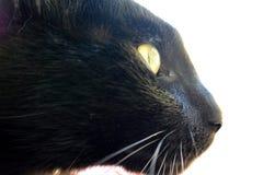 Black cat with golden eyes.. Portrait of black cat with golden eyes.. ready to jump to catch his prey Stock Image