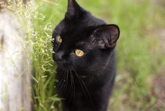 Black cat. The black cat in the grass Royalty Free Stock Images