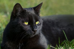 Black cat in the grass, animal portrait with green background Royalty Free Stock Photos