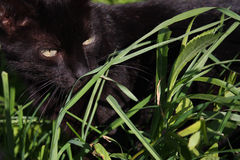 Black cat in Grass Royalty Free Stock Photos