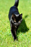 Black cat on grass Royalty Free Stock Photos