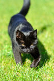 Black cat on grass Royalty Free Stock Photography