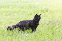Black cat in grass Stock Images