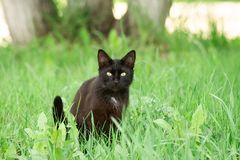Black cat in grass. Portrait of a beautiful black cat in a garden on the green grass in the spring stock image