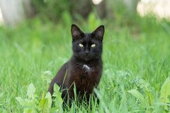 Black cat in grass. Portrait of a beautiful black cat in a garden on the green grass in the spring stock photos