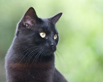 Black cat on green backgroung. Black cat portrait on green backgroung royalty free stock photos