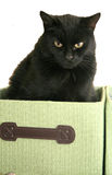 Black Cat in Green Box. Closeup of a black cat sitting in a green box, on a white background Royalty Free Stock Photos