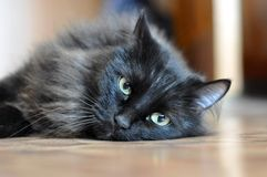 Black cat with green eyes. Stock Image