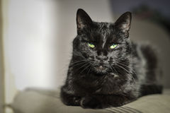 Black cat with green eyes. Black cat with beautiful green eyes gazing at you Stock Image