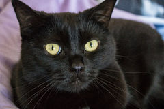 Black cat. With green eyes close up detailed portrait Royalty Free Stock Images