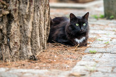 Black cat with green eyes Royalty Free Stock Image