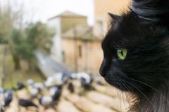 A black cat with green eyes looks at the pigeons. Closeup. Ð¡at in focus. Stock image. royalty free stock photography