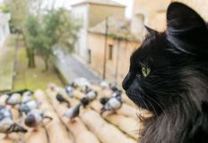 A black cat with green eyes looks at the pigeons. Closeup. Ð¡at in focus. Stock image. stock image