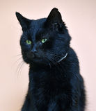 Black cat with green eyes. Wearing a collar Royalty Free Stock Photos