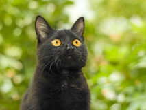 Black cat on green foliage background. Portrait of funny young black cat on the background of green foliage Stock Photography