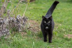 Black cat in the green grass. Black cat strays outdoors with his tail raised - close-up Royalty Free Stock Images