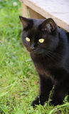 Black cat in the green grass. Black cat in the grass of the countryside, outdoor, peeps from under the wooden benches Stock Photography