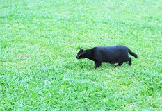 Black cat on green grass floor Stock Images