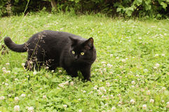 Black cat. In the green grass of park, outdoor Royalty Free Stock Photos