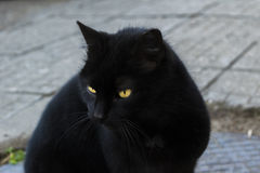 Black cat with green majestic eyes looking Royalty Free Stock Photo