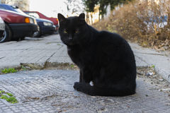 Black cat with green majestic eyes looking and sitting Royalty Free Stock Photography