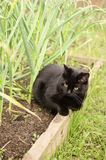 Black cat. On the green ridge of garlic, outdoor Stock Image