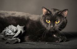 Black cat on grey with Ash rose Royalty Free Stock Images