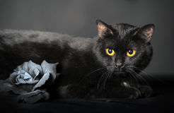 Black cat on grey with Ash rose Royalty Free Stock Image