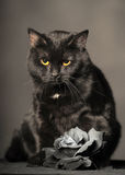 Black cat on grey with Ash rose Royalty Free Stock Photo