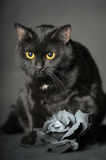 Black cat on grey with Ash rose Royalty Free Stock Photography