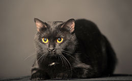 Black cat on grey Royalty Free Stock Photos