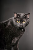 Black cat on grey Royalty Free Stock Photo