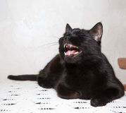 Black cat growls. On the table, white background, pet Stock Photo