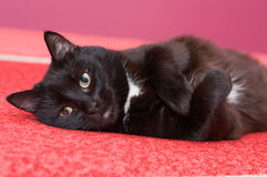 The black cat has a rest Royalty Free Stock Photos