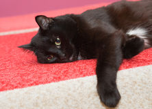 The black cat has a rest Stock Photography