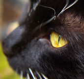 Black cat. The head of a black cat in close up Royalty Free Stock Image
