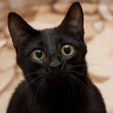 Black cat. Head of black cat close-up stock photography