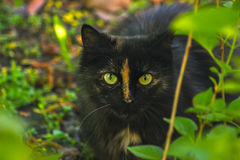 Black cat hiding in bush, hunting Royalty Free Stock Image