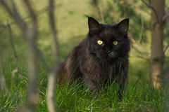 Black cat hiding. Maine coon cat hiding in green bushes Stock Photos
